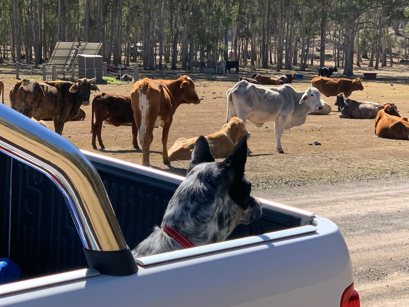 Explorer rv with Cows